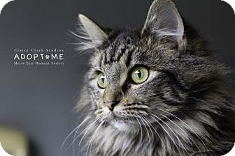Domestic Longhair Cat for adoption in Edwardsville, Illinois - Tilly