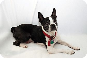 Boston Terrier Dog for adoption in Cumberland, Maryland - Dixon