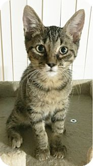Domestic Shorthair Kitten for adoption in Arlington/Ft Worth, Texas - Romeo