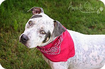 Australian Shepherd/Pit Bull Terrier Mix Dog for adoption in Pilot Point, Texas - HAZEL