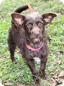 Norwich Terrier/Cairn Terrier Mix Dog for adoption in Wheaton, Illinois - BRYNNLEY