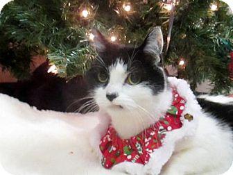 Domestic Shorthair Cat for adoption in Lloydminster, Alberta - Hazel