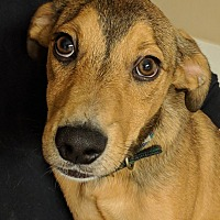 Basenji/Sheltie, Shetland Sheepdog Mix Puppy for adoption in Fishkill, New York - Kris