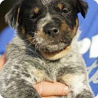 Adopt A Pet :: Barry Allen! - New York, NY