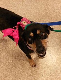 Beagle Mix Dog for adoption in Fairfax Station, Virginia - Belle