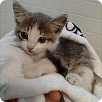 Adopt A Pet :: Cynda 17-0119 - Richardson, TX