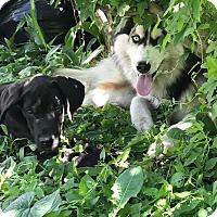 Adopt A Pet :: Milo - norridge, IL