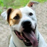 American Pit Bull Terrier Mix Dog for adoption in Wichita, Kansas - jj