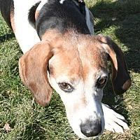Adopt A Pet :: Snickers - Lexington, MA