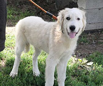 Great Pyrenees Dog for adoption in Fort Madison, Iowa - Michelango