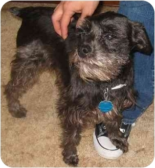 Schnauzer (Standard) Dog for adoption in Tahlequah, Oklahoma - Charlotte