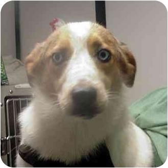 Husky/Labrador Retriever Mix Dog for adoption in Manassas, Virginia - marion