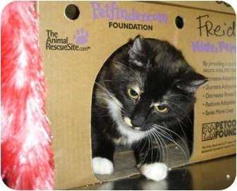 Domestic Mediumhair Cat for adoption in Greenville, North Carolina - Frieda