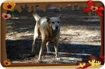 Labrador Retriever/Basenji Mix Dog for adoption in Staunton, Virginia - Lady