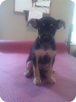 Yorkie, Yorkshire Terrier/Chihuahua Mix Puppy for adoption in Inglewood, California - Sasha