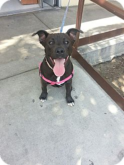Labrador Retriever/American Pit Bull Terrier Mix Dog for adoption in Whittier, California - Piglet (courtesy post)