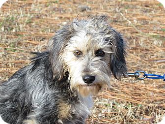 Terrier (Unknown Type, Small)/Yorkie, Yorkshire Terrier Mix Dog for adoption in Bedminster, New Jersey - HOLLY