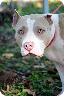 American Staffordshire Terrier Mix Dog for adoption in Bradenton, Florida - Trinket
