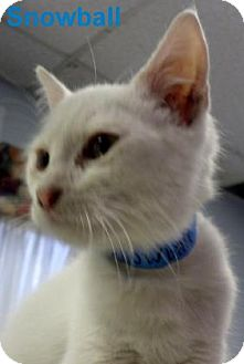 Domestic Shorthair Kitten for adoption in Georgetown, South Carolina - Snowball