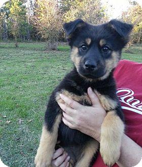 German Shepherd Dog Mix Puppy for adoption in Jefferson, Texas - Prissy