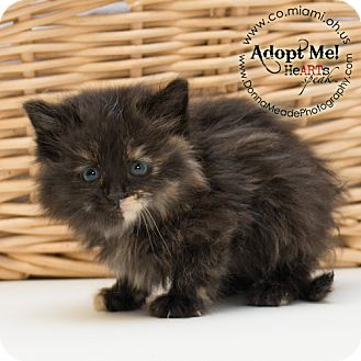 Domestic Mediumhair Kitten for adoption in Troy, Ohio - Pebbles Adopted