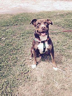 Labrador Retriever Mix Dog for adoption in Key Biscayne, Florida - Kisses