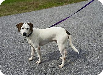 Hound (Unknown Type)/Labrador Retriever Mix Dog for adoption in Mary Esther, Florida - Henry
