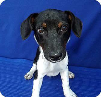 Terrier (Unknown Type, Small)/Dachshund Mix Puppy for adoption in LAFAYETTE, Louisiana - SONNY