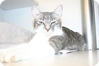 Domestic Shorthair Cat for adoption in Olympia, Washington - 40411
