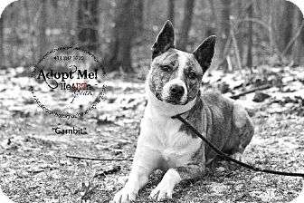 Basenji/American Staffordshire Terrier Mix Dog for adoption in THREE RIVERS, Massachusetts - Gambit