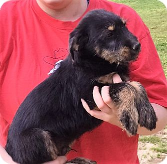 Airedale Terrier Mix Puppy for adoption in Chicago, Illinois - Harrison - adorable