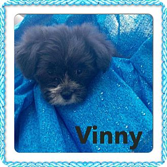 Schnauzer (Standard) Mix Puppy for adoption in waterbury, Connecticut - Vinny