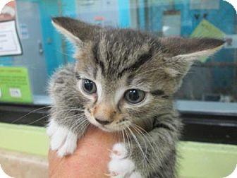 Domestic Shorthair Kitten for adoption in Greenville, North Carolina - Heather