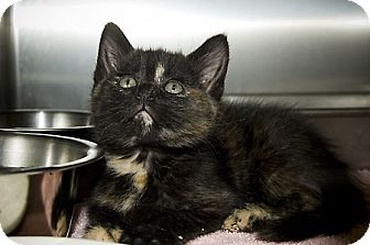 Domestic Shorthair Cat for adoption in Island Heights, New Jersey - Sandy2