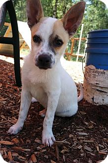 Rat Terrier/Australian Cattle Dog Mix Puppy for adoption in Eugene, Oregon - Gus-gus