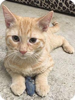 Domestic Shorthair Kitten for adoption in Oakdale, California - Ned