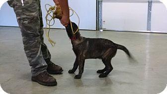 Dutch Shepherd Puppy for adoption in Wattertown, Massachusetts - Dex - Red Collar