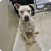 Pit Bull Terrier Mix Dog for adoption in Odessa, Texas - A16 Owen