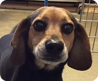 Beagle Mix Dog for adoption in Canoga Park, California - Booker