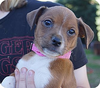 Chihuahua/Dachshund Mix Puppy for adoption in West Nyack, New York - Gracie