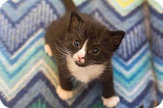Domestic Shorthair Kitten for adoption in Morgantown, West Virginia - Casey