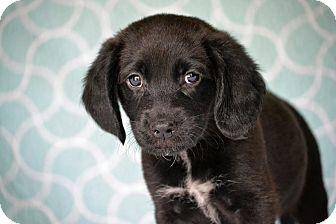 Beagle/Labrador Retriever Mix Puppy for adoption in Staunton, Virginia - Orla