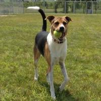Treeing Walker Coonhound/Beagle Mix Dog for adoption in Monticello, Iowa - Whinnie