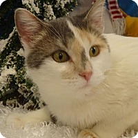Domestic Shorthair Cat for adoption in Forest Lake, Minnesota - Fabrica