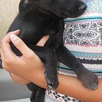 Adopt A Pet :: Female runt Lab/Aust Shep pup - Moreno Valley, CA