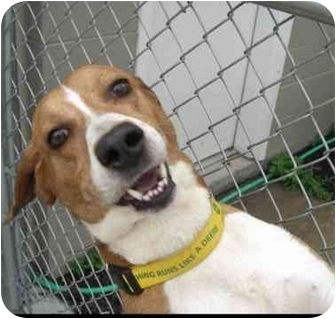 Redbone Coonhound Mix Dog for adoption in New Kent, Virginia - Big Red