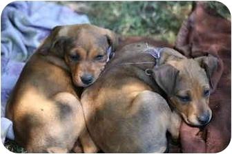 Doberman Pinscher Mix Puppy for adoption in Whittier, California - Jackson