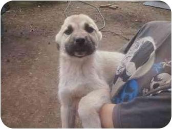 Shepherd (Unknown Type)/Akita Mix Puppy for adoption in Haughton, Louisiana - Concho