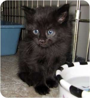 Domestic Mediumhair Kitten for adoption in Red Deer, Alberta - Chips