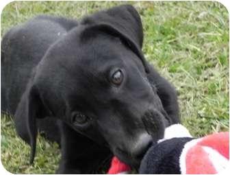 Labrador Retriever Mix Puppy for adoption in Allentown, Pennsylvania - Callum